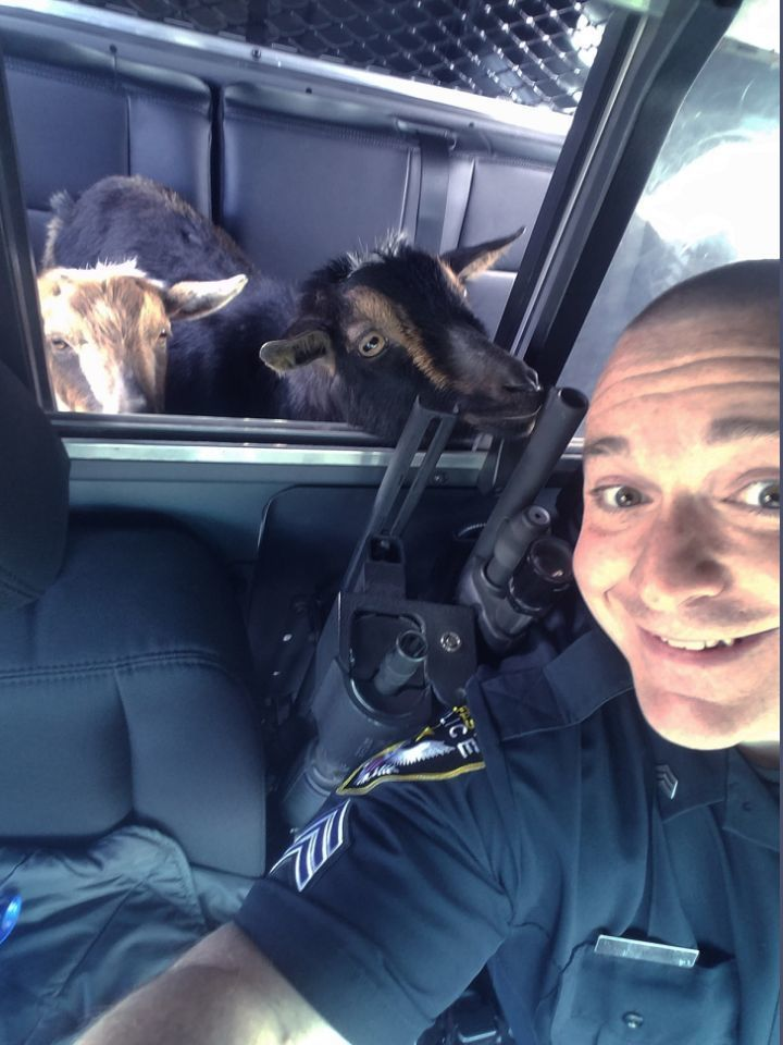 pygmy goats in squad car2.jpg