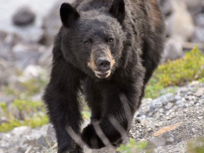 runner vs bear3.jpg