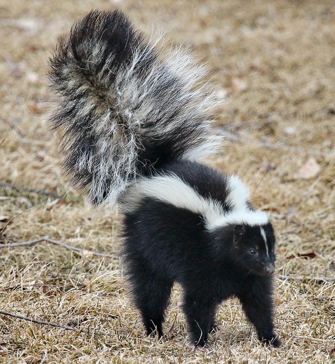 skunk-1239764_960_720.jpg