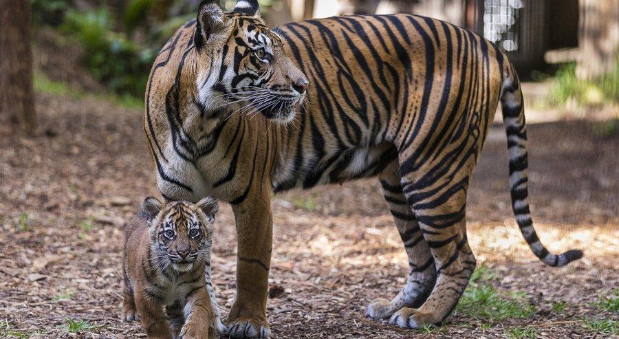 sumatran tiger babies.jpg