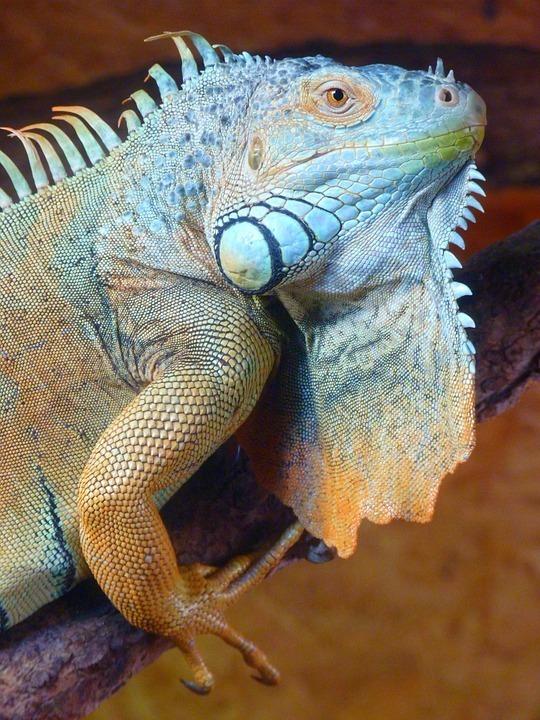 turquoise iguana.jpg