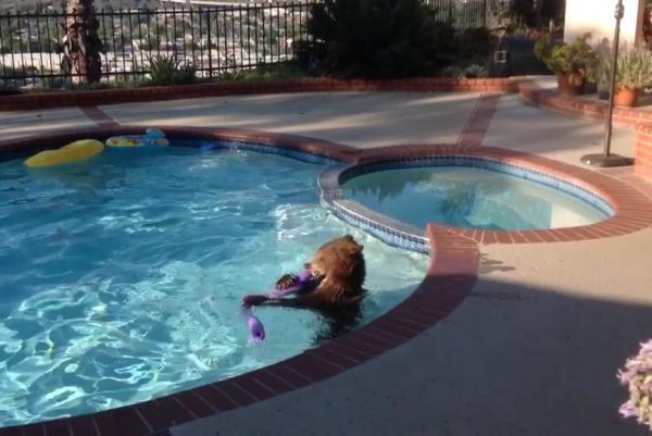 wild bear plays in pool.jpg