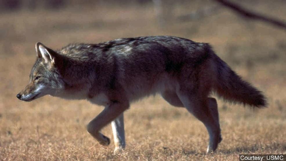 wild coyote in the zoo.jpg