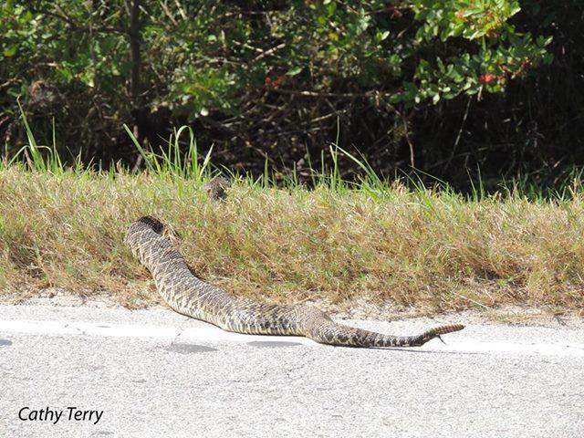 worlds fattest rattlesnake.jpg